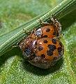 24 Spot Ladybird - Subcoccinella vigintiquattuorpunctata (17820686358).jpg