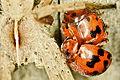 24 spot ladybirds and a grass spider (7017180779).jpg