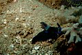 25-EastTimor-Dive Dili-Rock-West 03 (Nudibranch Philinopsis-Speciosa)-APiazza.JPG