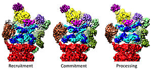 Proteasome - Image: 3 conformational states of 26S proteasome