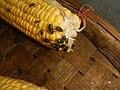 4660Common houseflies on foods 30.jpg