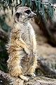50 Jahre Knie's Kinderzoo - Suricata suricatta (Erdmännchen) 2012-10-03 16-23-58.JPG