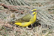 73 Yellow-fronted Canary.jpg