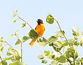 951 - BALTIMORE ORIOLE (6-7-2018) rice lake n w r, aitkin co, mn -01 (42878985262).jpg