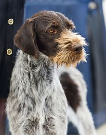 German Wirehaired Pointer - Wikipedia  Black German Wirehaired Pointer