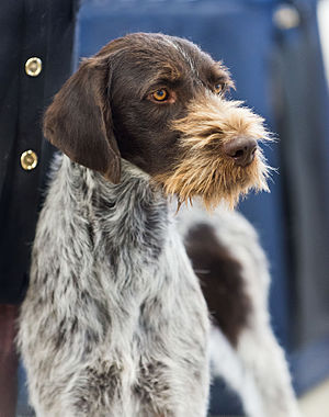 German Wirehaired Pointer - German Wirehaired Pointer head