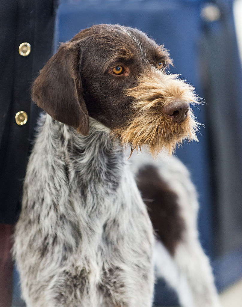 Wirehaired Pointing Dog Sales Preloved
