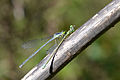 A Female Eastern Forktail (Ischnura verticalis) feeding on a male (14984300600).jpg