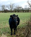 A curious heifer west of Barby - geograph.org.uk - 1640746.jpg