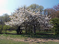 A flowering tree against the Ha-ha at the south of Wollaton Hall Park, Nottingham, England.jpg