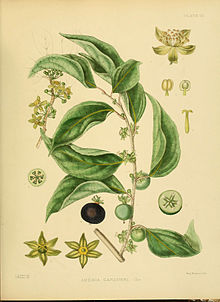 A hand-book to the flora of Ceylon (Plate VII) (6430633123).jpg