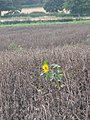 A lonely sunflower in a field of withered beans. - geograph.org.uk - 535617.jpg