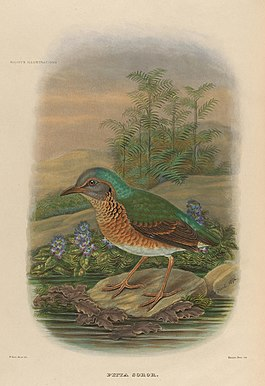 A monograph of the Pittidæ, or family of ant-thrushes (Plate IX) (8231506879).jpg