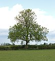 A solitary tree east of Broadwell - geograph.org.uk - 1313916.jpg