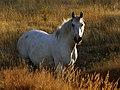 A sunlit beauty white horse(16158640808).jpg