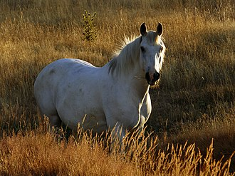 Glossary of equestrian terms - A sunlit white horse