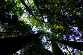 A view up at an old growth canopy trees.jpg