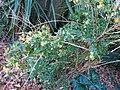 Abelia X Grandiflora 2.jpg