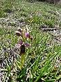 Abellera vermella al prat d'orquídies de la maresma de les Filipines P1100471.jpg