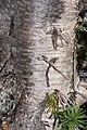 Abies lasiocarpa 7114.JPG