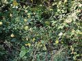 Abutilon persicum (Burm.f.) Merr. (5360660206).jpg