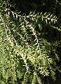 Acacia boormanii - Leaning Pine Arboretum - DSC05498.JPG