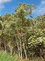 Acacia heterophylla 8.JPG