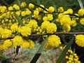 Acacia montana.jpg