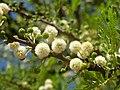 Acacia robusta, blomhofies, Kameeldrift, c.jpg