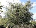 Acacia tortuosa 9zz.jpg