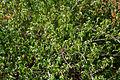 Acalypha fruticosa W IMG 3174.jpg