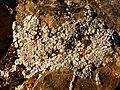 Acarospora strigata 286053.jpg