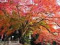 Acer palmatum, Kamo Shrine, Sendai, Japan.JPG