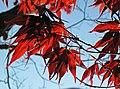 Acer palmatum (Japanese maple tree) (Newark, Ohio, USA) 4 (16737796293).jpg