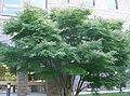 Acer palmatum var matsumurae2.jpg