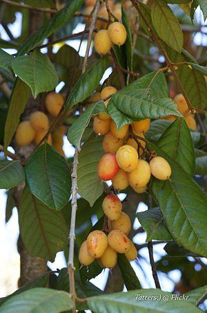 Aceratium ferrugineum - Fruiting, cultivated plant at Roma Street Parkland, Brisbane, 11 Dec 2011, by Tatiana Gerus