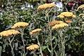 Achillea millefolium Fireland 4zz.jpg