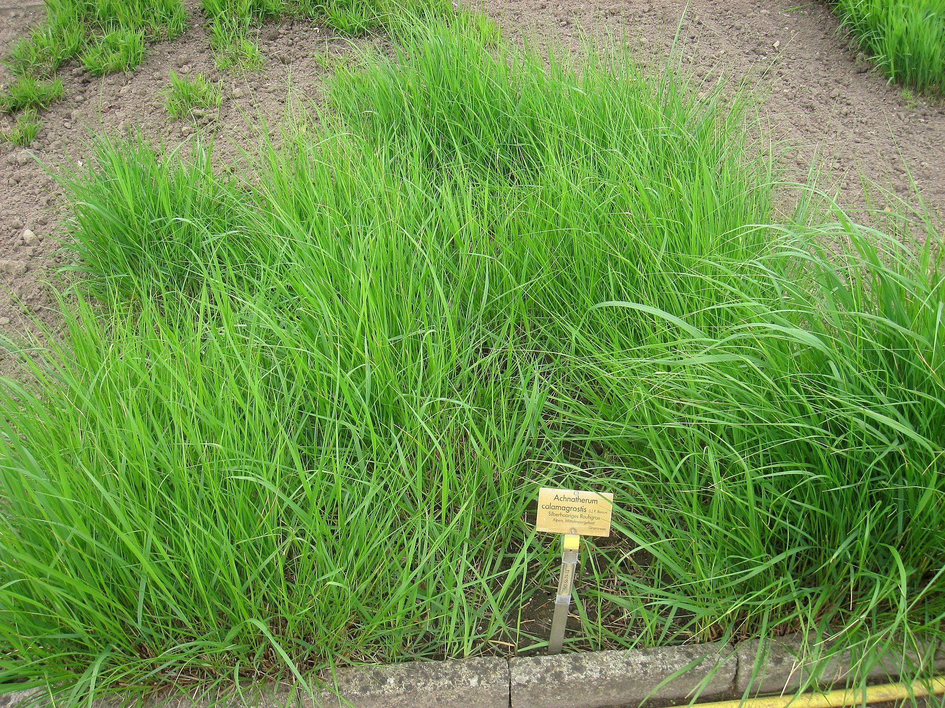 Achnatherum calamagrostis - Wikipedia