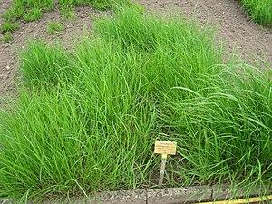 Achnatherum calamagrostis - Image: Achnatherum calamagrostis Berlin Botanical Garden IMG 8584
