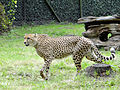 Acinonyx jubatus at Warsaw Zoo - 02.jpg