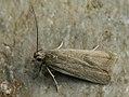 Acompsia cinerella - Ash-coloured sober (40172470244).jpg