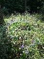 Aconitum variegatum subsp. variegatum sl45.jpg