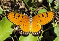 Acraea terpsicore - Tawny coster 04.JPG