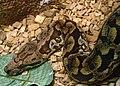 Acrantophis dumerili Ile aux Serpents 201108 4.jpg