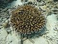 Acropora latistella Maldives.JPG