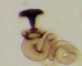 Acrotrichis insularis spermatheca.jpg