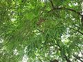 Adenanthera pavonina..jpg
