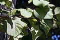 Adina cordifolia 5zz.jpg