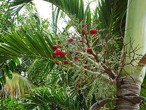 Adonidia merrillii - Fruit