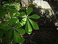 Aesculus Hippocastanum Horse-Chestnut Conker Tree - panoramio.jpg
